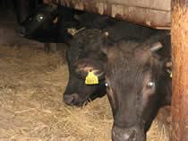 畜舎の牛たち