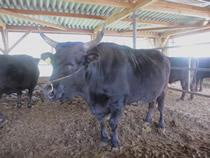 会員の牧場を視察。見島牛にも会えました。