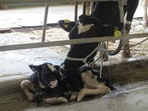 運がよいと子牛の誕生を見学できる